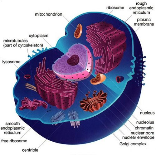 Animal Cell Facts and Parts 10 Interesting Animal Cell Facts
