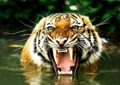 Interesting Facts about Tigers | RedGage