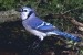 10 Interesting Blue Jay Facts