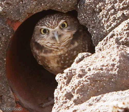 Burrowing Owl in Nest