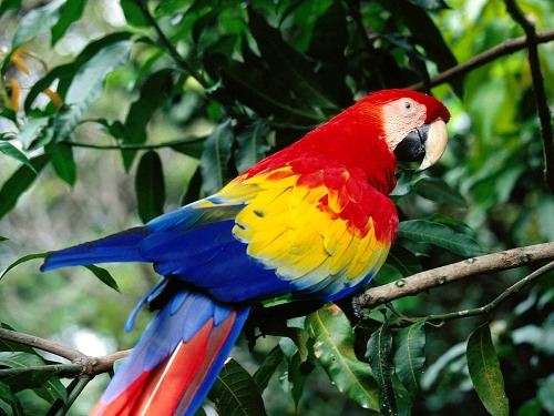 Colorful Scarlet Macaw 10 Interesting Scarlet Macaw Facts