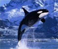 10 Interesting Killer Whale Facts