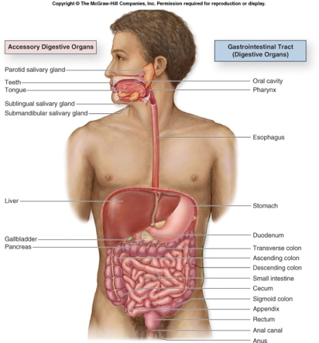 Digestive Process 10 Interesting Digestive System Facts