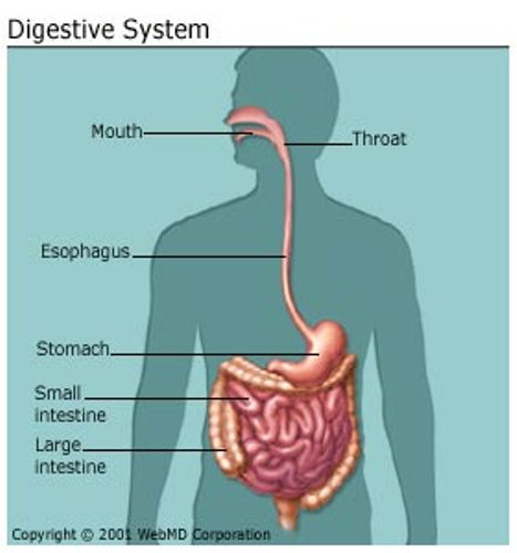 Digestive System Facts 10 Interesting Digestive System Facts
