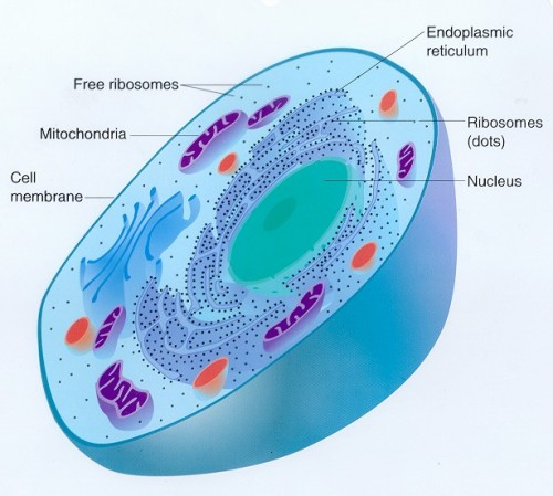 Eukaryotic Animal Cell 10 Interesting Animal Cell Facts