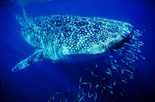 Great White Shark Facts 10 Interesting Great White Shark Facts