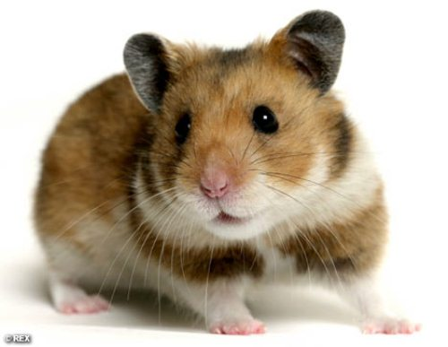 Hamster Facts 10 Interesting Hamster Facts