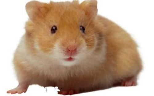 Hamster 10 Interesting Hamster Facts