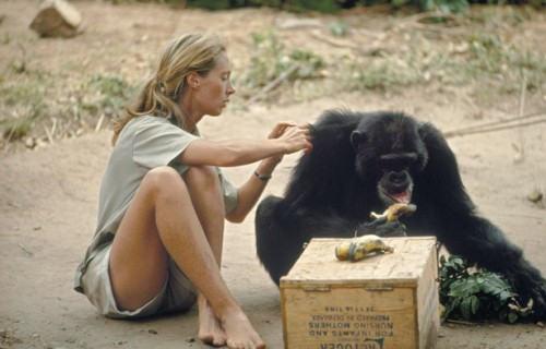 Jane Goodalls Study 10 Interesting Jane Goodall facts