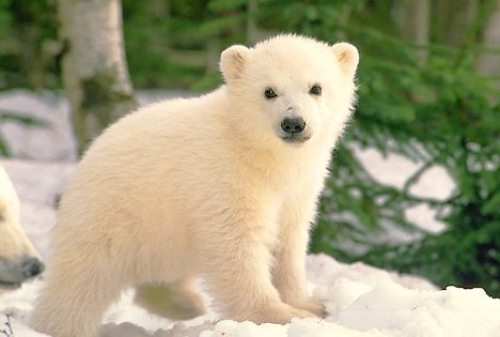 10 Interesting Polar Bear Facts | My Interesting Facts