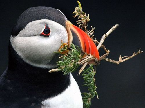 Puffin Eats
