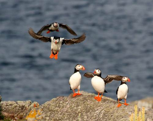 Puffin in a Group
