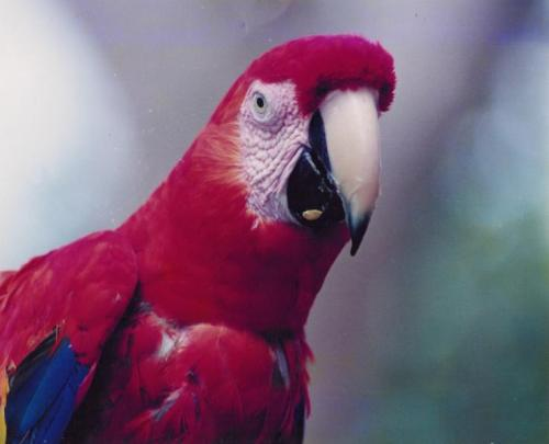 Red Scarlet Macaw 10 Interesting Scarlet Macaw Facts