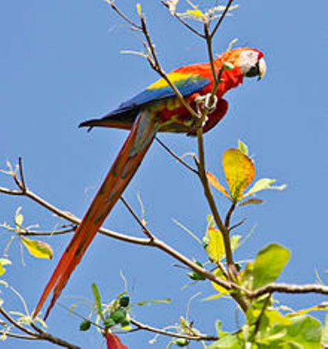 Scarlet Macaw Facts