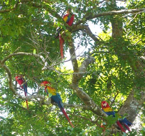 Scarlet Macaw 10 Interesting Scarlet Macaw Facts