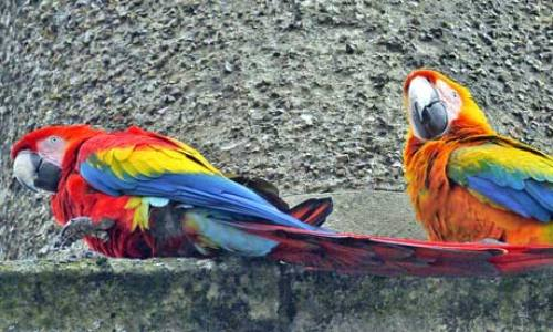 Scarlet Macaws 10 Interesting Scarlet Macaw Facts