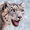 10 Interesting Snow Leopard Facts