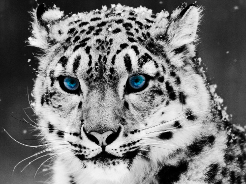 Snow Leopard Facts 10 Interesting Snow Leopard Facts