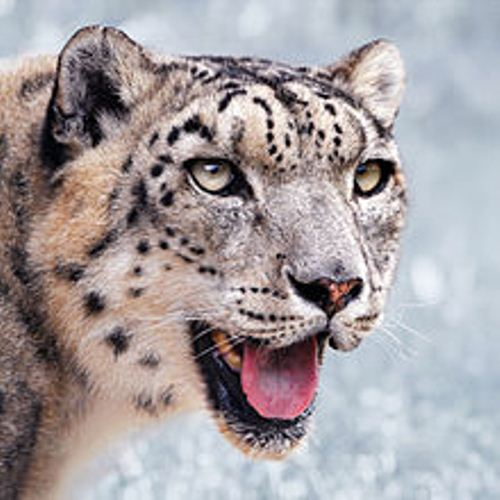 Snow Leopard 10 Interesting Snow Leopard Facts