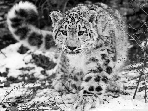 Snow leopards facts 9 tail