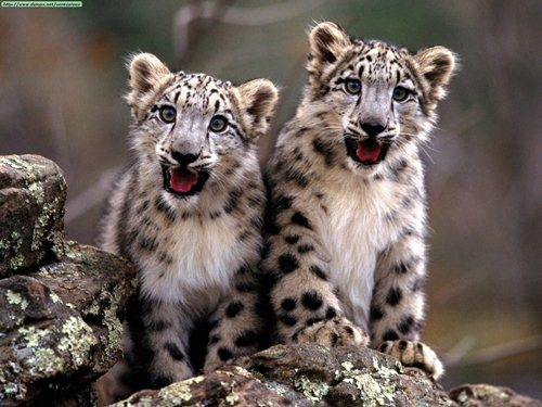 Snow Leopards 10 Interesting Snow Leopard Facts
