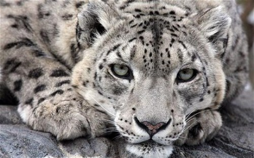 Wild Snow Leopard 10 Interesting Snow Leopard Facts