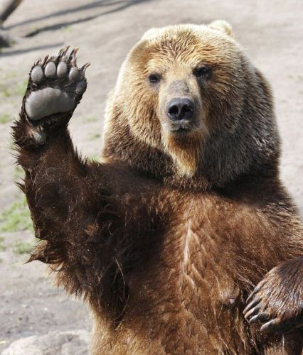 10 Interesting Bear Facts | My Interesting Facts - photo#19