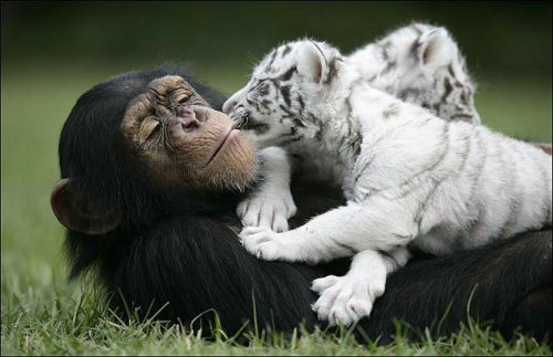 chimpanzee with tigers