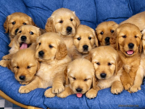 10 interesting puppy facts my interesting facts for Golden retriever puppies information