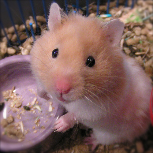 hamster with bowl 10 Interesting Hamster Facts
