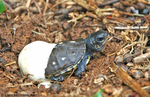 hatching box turtle