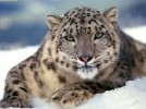 10 Interesting Snow Leopards Facts