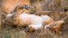 10 Interesting African Lion Facts