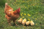 10 Interesting Chicken Facts