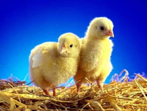 Chicks 10 Interesting Egg Facts