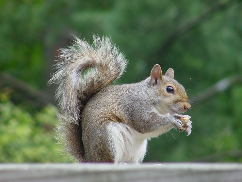 East Gray Squirrel
