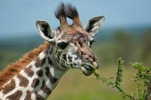 Giraffe Eats 10 Interesting Giraffe Facts