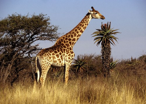 Giraffe Facts 10 Interesting Giraffe Facts