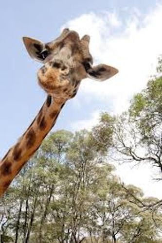 Giraffe Neck 10 Interesting Giraffe Facts