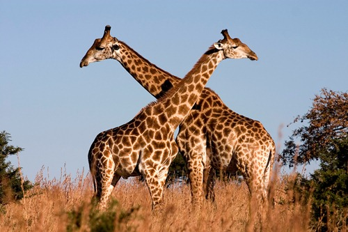 Giraffes 10 Interesting Giraffe Facts