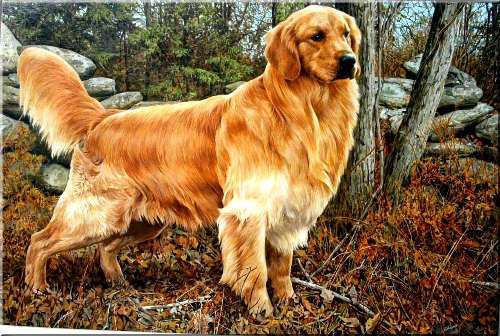Golden Retriever 10 Interesting Golden Retriever Facts