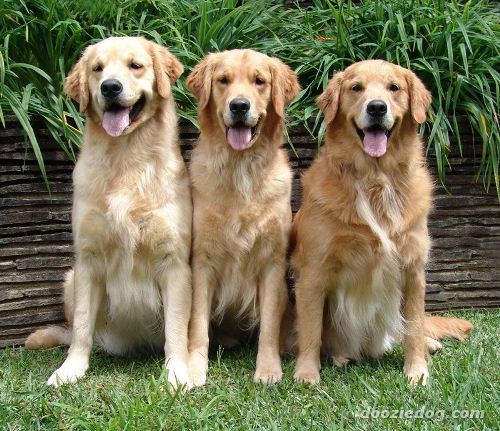Golden Retrievers