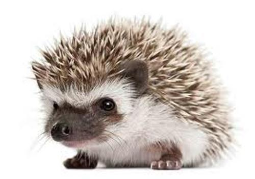 Facts On Hedgehogs