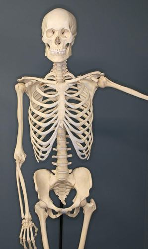 Human Skeleton 10 Interesting Skeletal System Facts