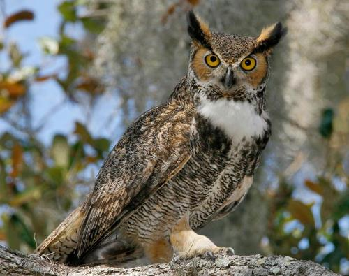 Large Great Horned Owl