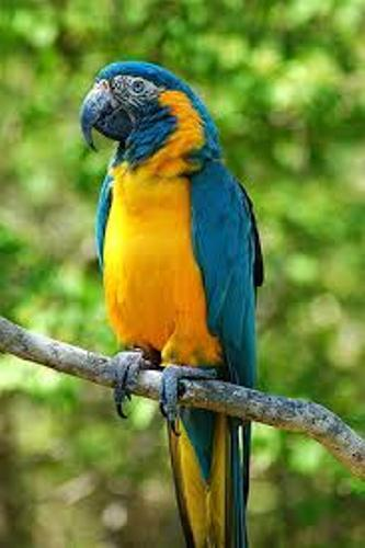 Macaw Fact