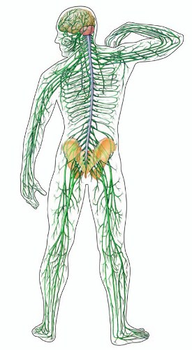 Nervous System facts