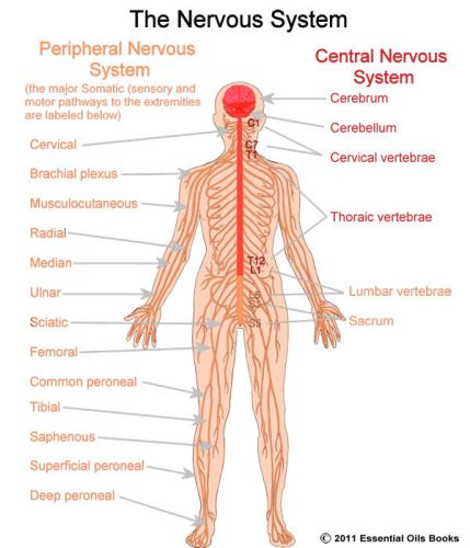 Nervous System 10 Interesting Nervous System Facts