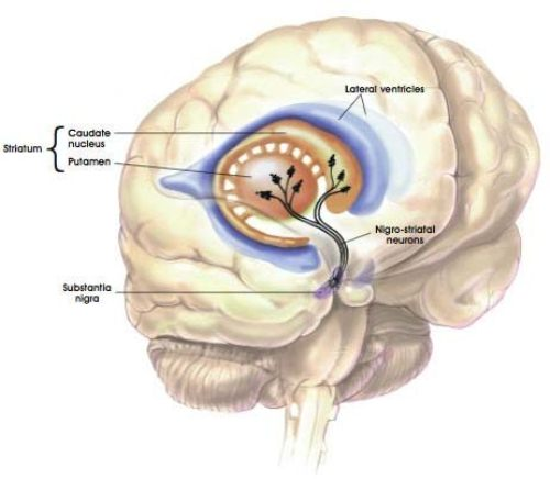 Parkinson S Disease and Brain System