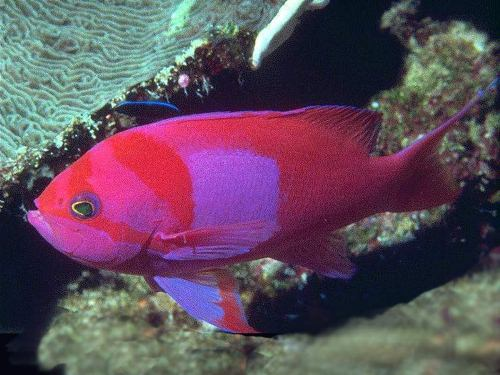 Pink Fish 10 Interesting Fish Facts